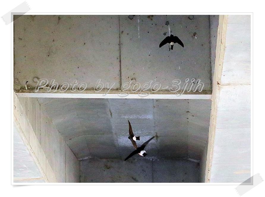 イワツバメは、繁殖のため九州以北に、ツバメより早く飛来(夏鳥)_b0346933_1114729.jpg
