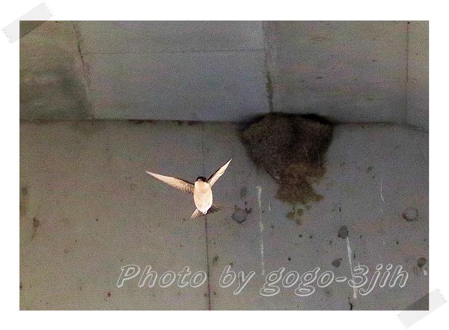 イワツバメは、繁殖のため九州以北に、ツバメより早く飛来(夏鳥)_b0346933_1115683.jpg