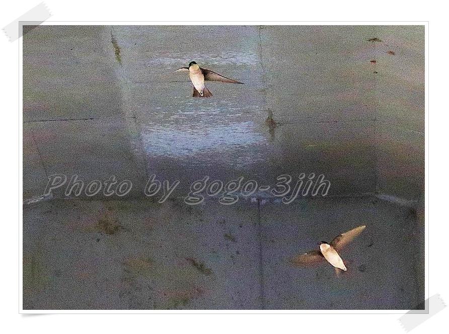 イワツバメは、繁殖のため九州以北に、ツバメより早く飛来(夏鳥)_b0346933_112459.jpg