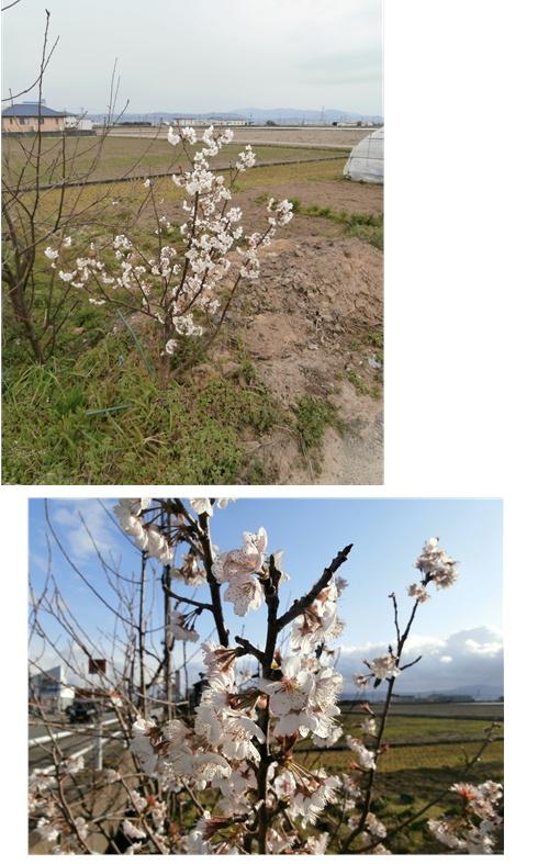 桜満開_c0306646_17402865.jpg