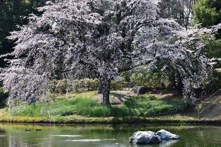 白鳥庭園のしだれ桜_e0170058_18401824.jpg
