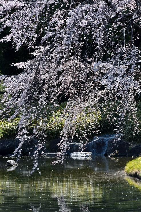 白鳥庭園のしだれ桜_e0170058_18404135.jpg