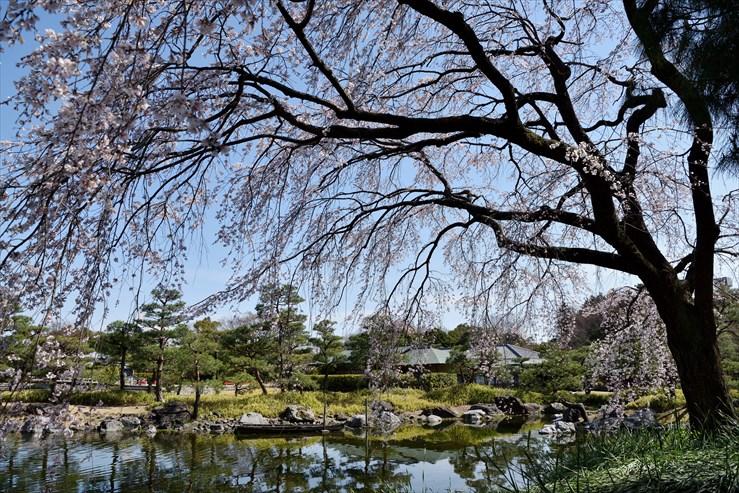 白鳥庭園のしだれ桜_e0170058_18411021.jpg