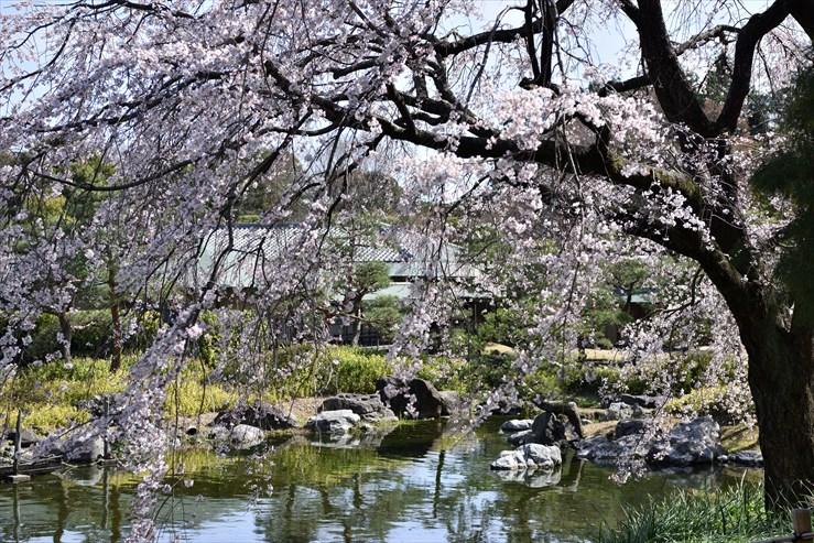 白鳥庭園のしだれ桜_e0170058_18411573.jpg
