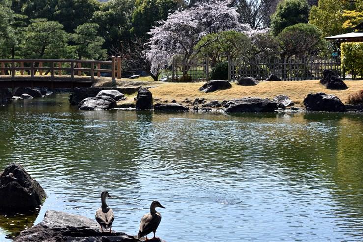 白鳥庭園のしだれ桜_e0170058_1841182.jpg