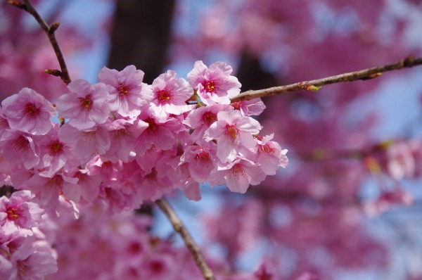 Pink-Red Spring Blossoms_b0078188_21404950.jpg