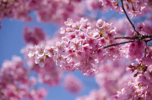 Pink-Red Spring Blossoms_b0078188_2141877.jpg