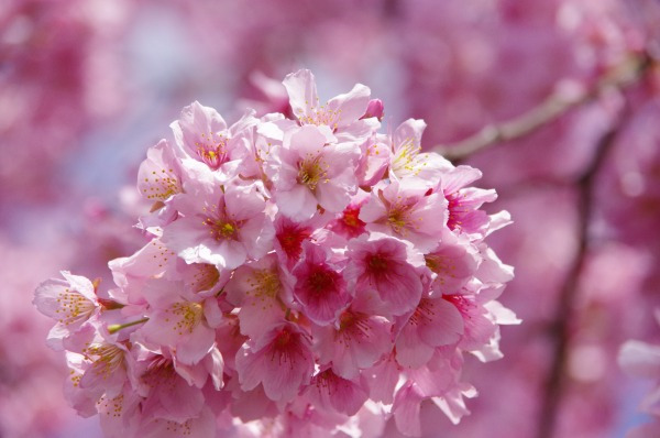 Pink-Red Spring Blossoms_b0078188_21431648.jpg