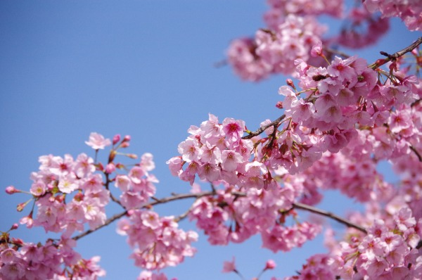 Pink-Red Spring Blossoms_b0078188_21432558.jpg