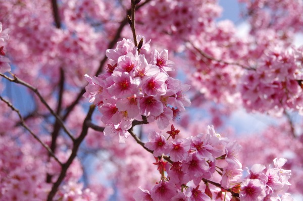 Pink-Red Spring Blossoms_b0078188_21433241.jpg