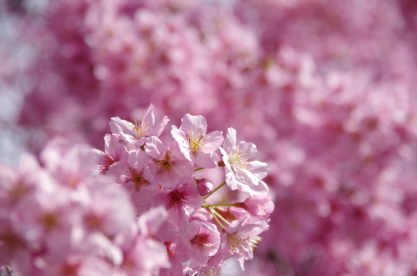 Pink-Red Spring Blossoms_b0078188_21441793.jpg