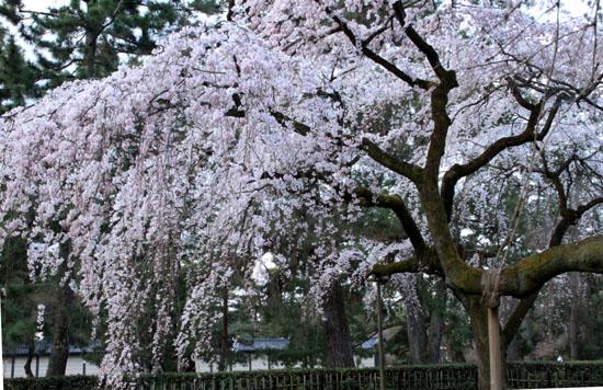 2016さくら便り 7京都御苑近衛邸跡_e0048413_16481163.jpg