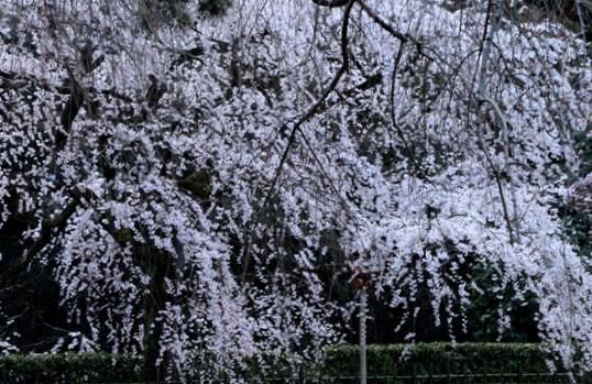 2016さくら便り 7京都御苑近衛邸跡_e0048413_16482392.jpg