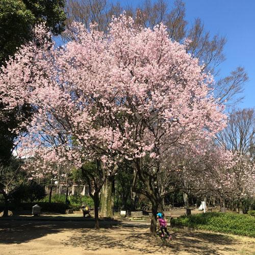 桜パトロール。_a0026127_12441827.jpg