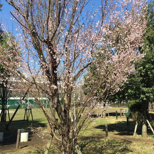 桜パトロール。_a0026127_1245529.jpg