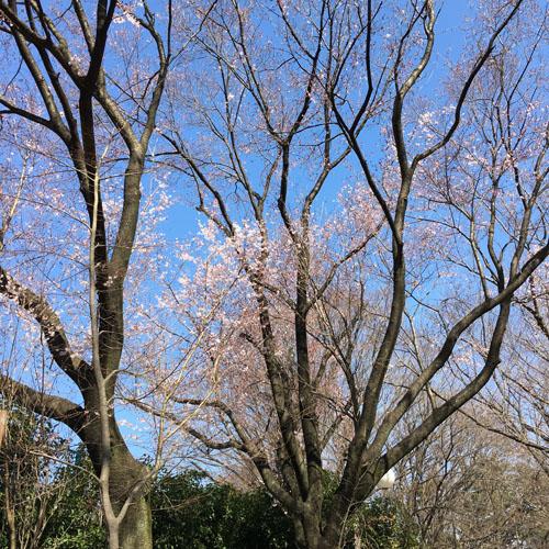 桜パトロール。_a0026127_1246340.jpg