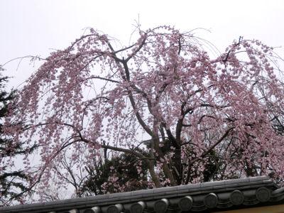 上野は一分咲き「東京ウォーク」_f0019247_13211743.jpg