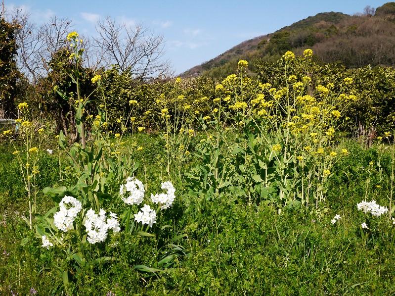 菜の花咲く里山を行く_b0093754_2332575.jpg