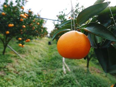 究極の柑橘「せとか」 今年も大好評!お急ぎください!!今期発送予定分カウントダウンです!_a0254656_18201157.jpg