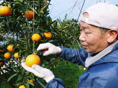 究極の柑橘「せとか」 今年も大好評!お急ぎください!!今期発送予定分カウントダウンです!_a0254656_19131887.jpg