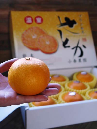 究極の柑橘「せとか」 今年も大好評!お急ぎください!!今期発送予定分カウントダウンです!_a0254656_19222798.jpg