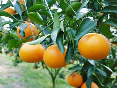 究極の柑橘「せとか」 今年も大好評!お急ぎください!!今期発送予定分カウントダウンです!_a0254656_1992827.jpg