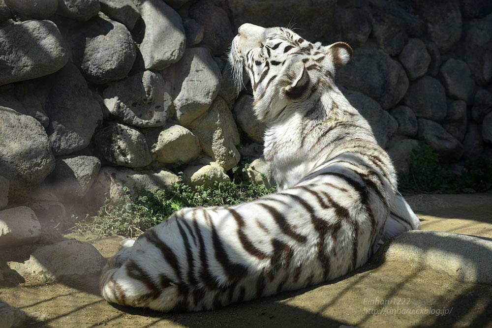 2016.3.20 東武動物公園☆ホワイトタイガーのカーラ【White tiger】_f0250322_1493313.jpg