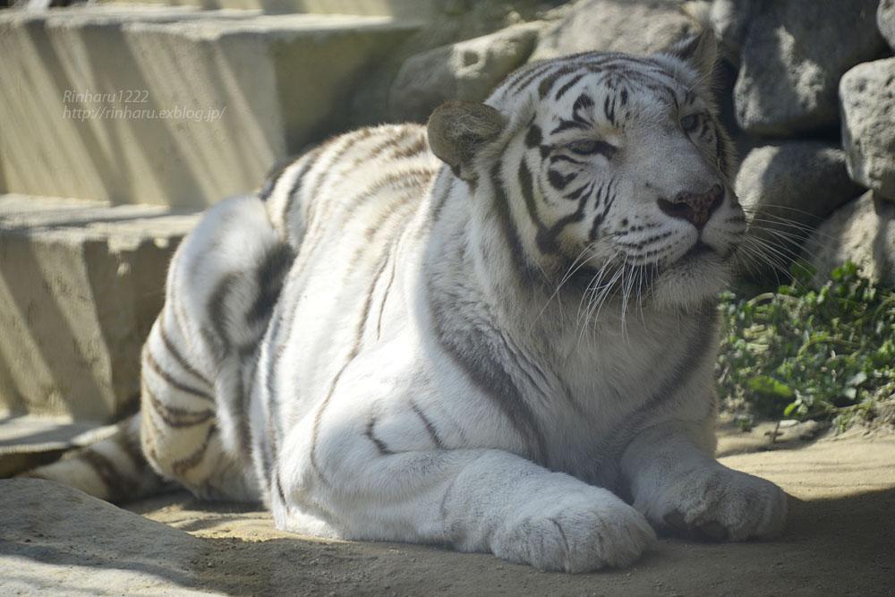 2016.3.20 東武動物公園☆ホワイトタイガーのカーラ【White tiger】_f0250322_1494229.jpg