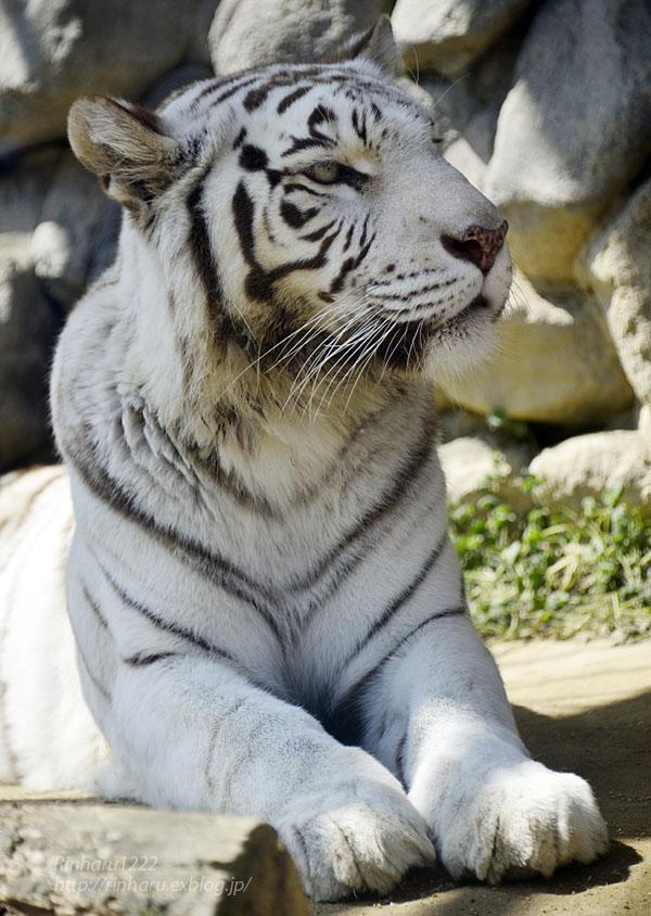 2016.3.20 東武動物公園☆ホワイトタイガーのカーラ【White tiger】_f0250322_149459.jpg