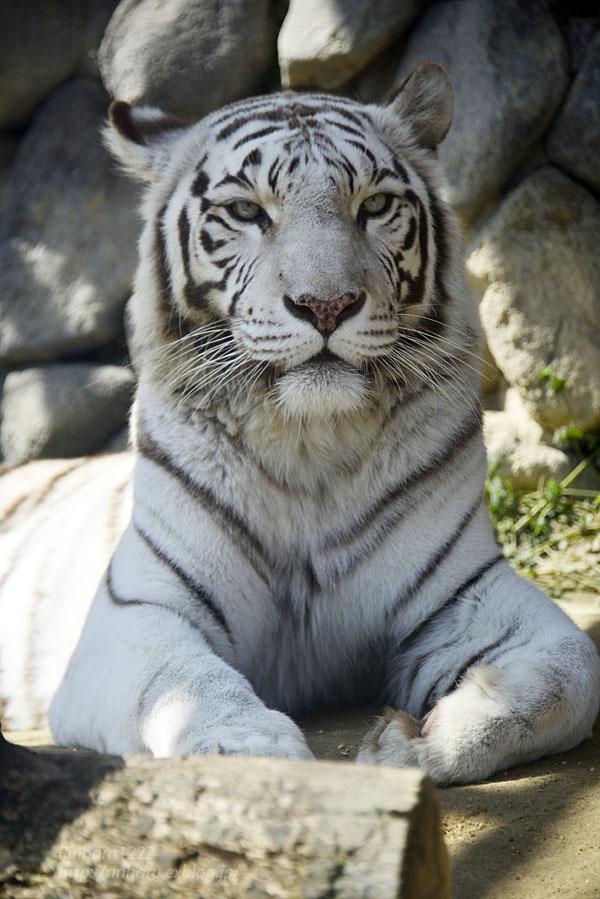 2016.3.20 東武動物公園☆ホワイトタイガーのカーラ【White tiger】_f0250322_1494974.jpg
