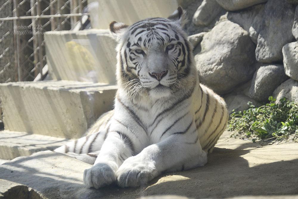 2016.3.20 東武動物公園☆ホワイトタイガーのカーラ【White tiger】_f0250322_1495196.jpg