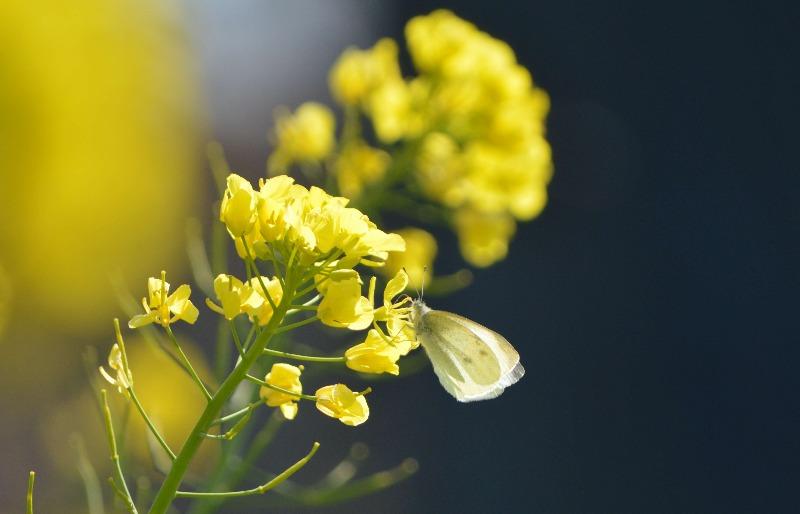 モンシロチョウ他 春の花と一緒に_d0254540_19323789.jpg
