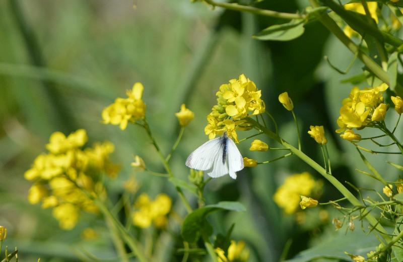 モンシロチョウ他 春の花と一緒に_d0254540_19325647.jpg
