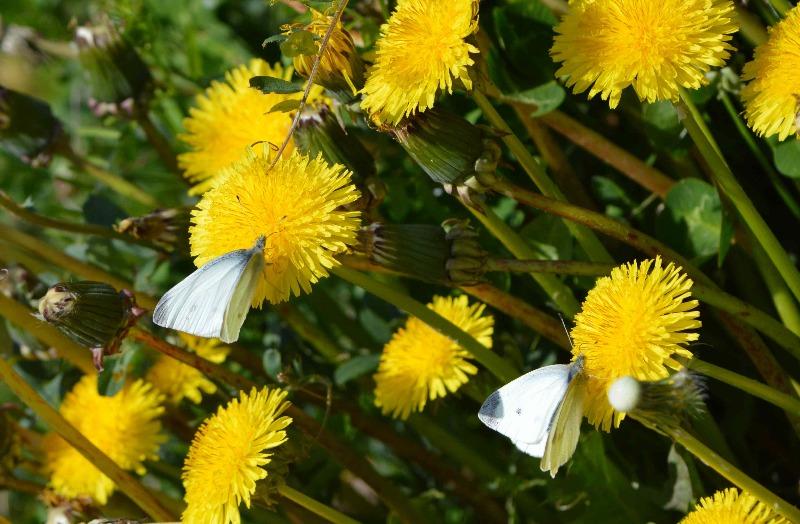 モンシロチョウ他 春の花と一緒に_d0254540_19333863.jpg