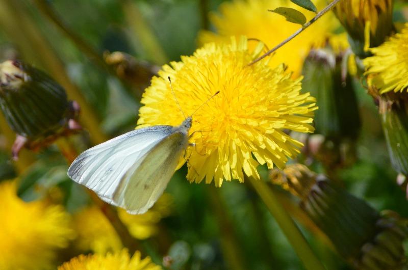 モンシロチョウ他 春の花と一緒に_d0254540_19335793.jpg