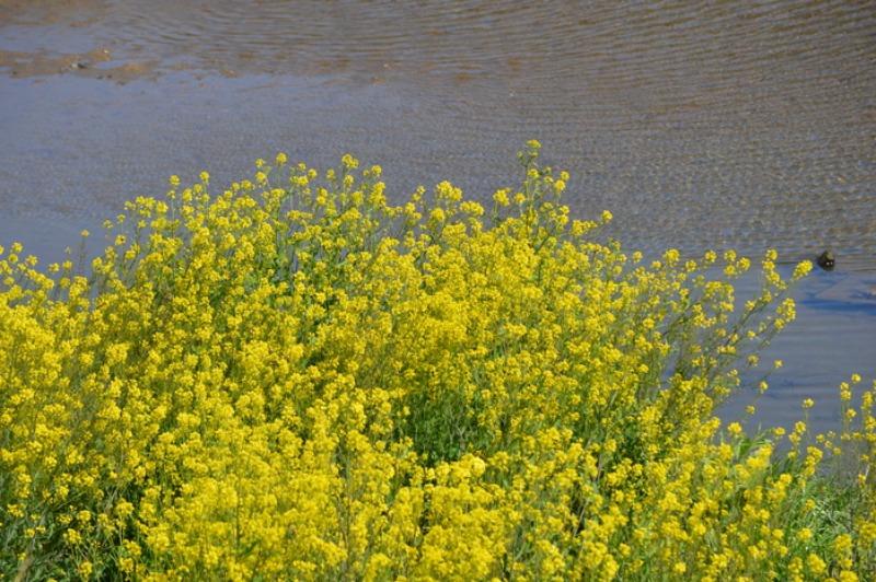モンシロチョウ他 春の花と一緒に_d0254540_19365181.jpg
