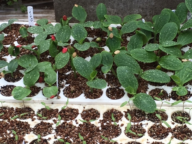 カボチャ&ズッキーニの畝作り &蚕豆の防鳥ネットの準備開始します_c0222448_12054428.jpg