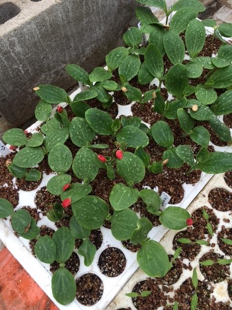 カボチャ&ズッキーニの畝作り &蚕豆の防鳥ネットの準備開始します_c0222448_12152366.jpg