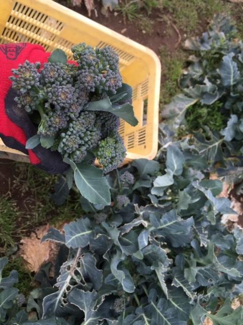 カボチャ&ズッキーニの畝作り &蚕豆の防鳥ネットの準備開始します_c0222448_12335988.jpg