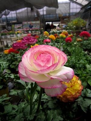 春の鉢花_c0141652_14155382.jpg