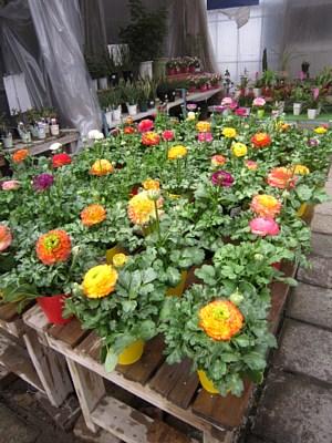 春の鉢花_c0141652_14161442.jpg