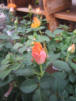 春の鉢花_c0141652_14163974.jpg