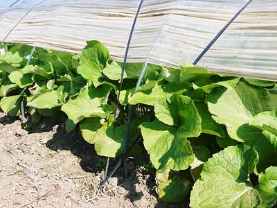 有機栽培の水田ごぼう 元気に成長しています!収穫は4月下旬より!!_a0254656_17135570.jpg