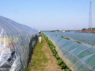 有機栽培の水田ごぼう 元気に成長しています!収穫は4月下旬より!!_a0254656_17243086.jpg