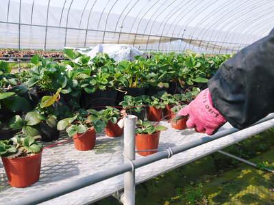 有機栽培の水田ごぼう 元気に成長しています!収穫は4月下旬より!!_a0254656_17433759.jpg