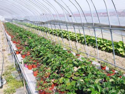 有機栽培の水田ごぼう 元気に成長しています!収穫は4月下旬より!!_a0254656_17455954.jpg