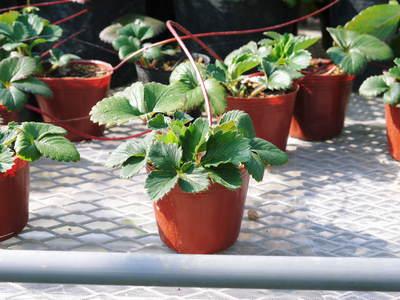 有機栽培の水田ごぼう 元気に成長しています!収穫は4月下旬より!!_a0254656_17472035.jpg