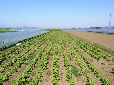 有機栽培の水田ごぼう 元気に成長しています!収穫は4月下旬より!!_a0254656_17533088.jpg