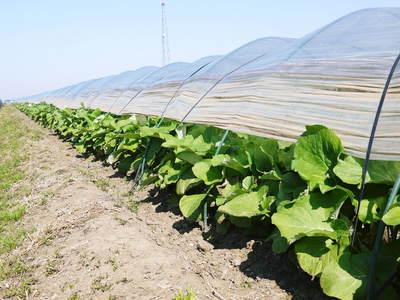 有機栽培の水田ごぼう 元気に成長しています!収穫は4月下旬より!!_a0254656_17591618.jpg