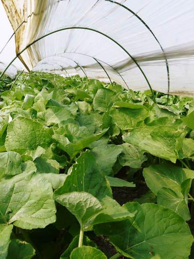 有機栽培の水田ごぼう 元気に成長しています!収穫は4月下旬より!!_a0254656_1824286.jpg
